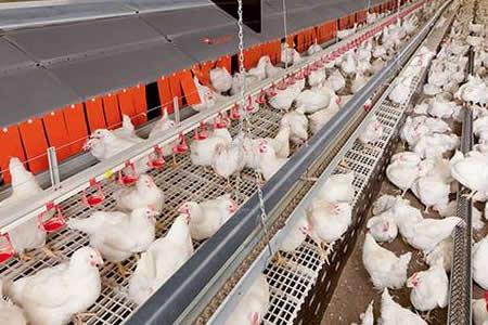 Corea del Sur sacrificará otros 197.000 pollos tras nuevo caso de gripe aviar