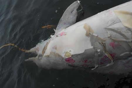 Mortandad de delfines tucuxi pone en riesgo especie ya amenazada en Brasil