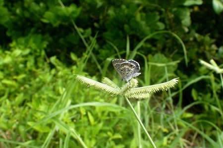 """Insecto """"más escaso"""" en EEUU, la mariposa azul de Miami, lucha por sobrevivir"""