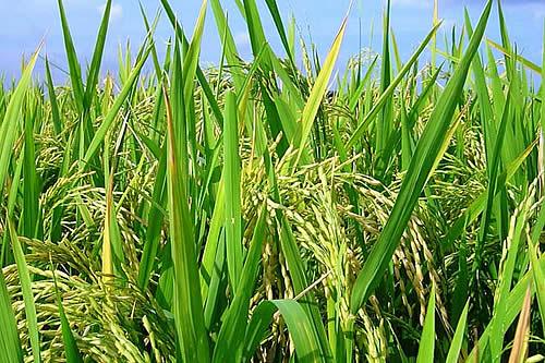 Bolivia tiene sobreproducción de alimentos y garantiza abastecimiento: Cocarico