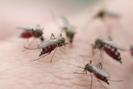 Científicos descubren cómo bloquear infección de la malaria en mosquitos