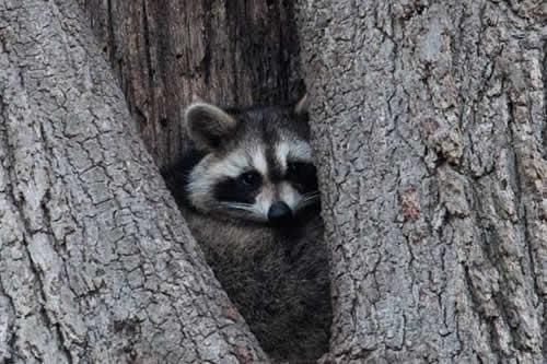 Una familia de mapaches cae del techo en una casa en EE.UU.