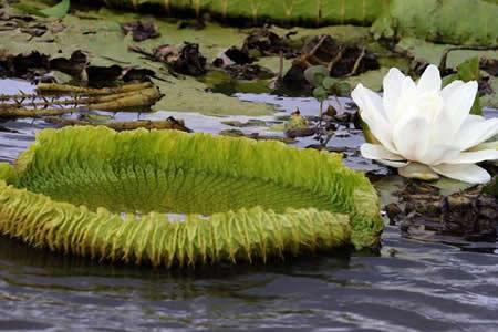 Maravilla natural de lirios brota en río en Paraguay para deleite turístico