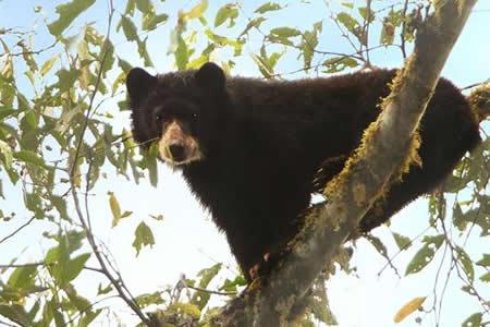 Quito alberga conferencia internacional sobre el oso con más de 300 expertos