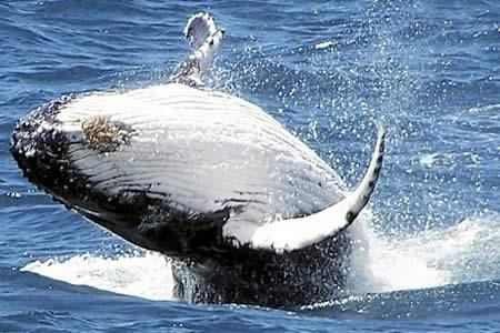 Australia condena la caza de ballenas de Japón en el océano antártico