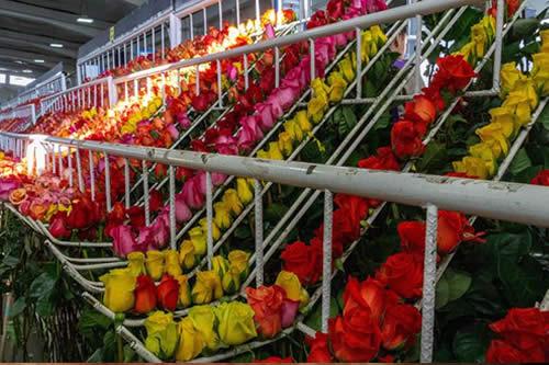Desde Miami pasarán 89 millones de flores para la fiesta del amor en EEUU