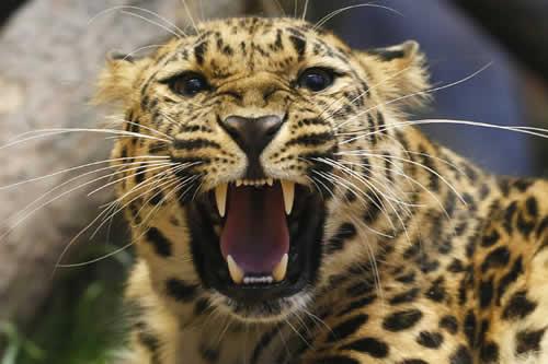 La milagrosa huida de una cigüeña de las garras de un leopardo hambriento