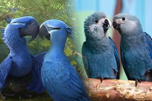 """Resultado de imagen para El ave azul que inspiró la película """"Río"""" se ha extinguido de su hábitat natural"""