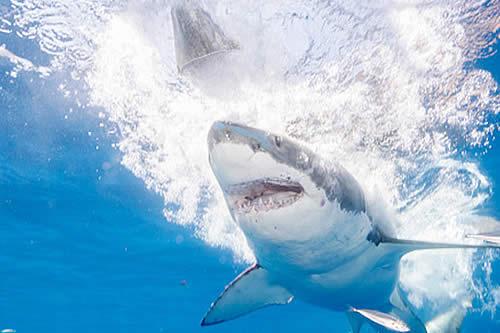 Un tiburón blanco ataca repentinamente a otro frente a un grupo de buzos