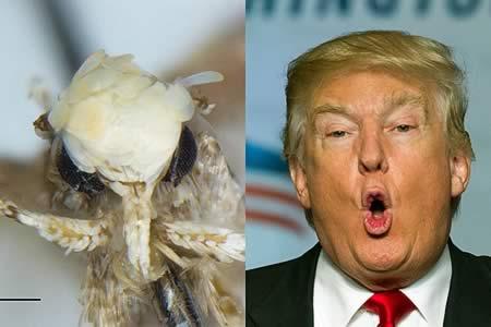 Nombran una nueva especie de polilla en honor de Donald Trump