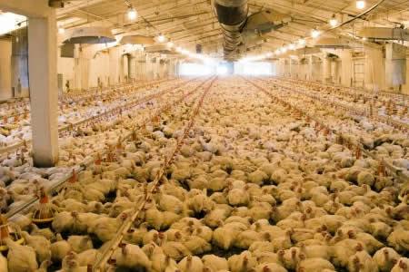 Sacrifican 91.000 pollos en Japón por brote de gripe aviar
