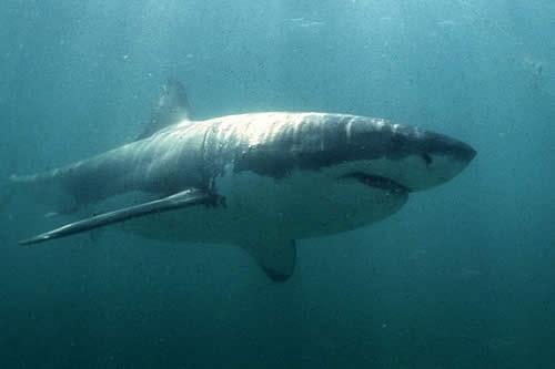 El póster de la película 'Tiburón' cobra vida en una aterradora imagen de un fotógrafo británico