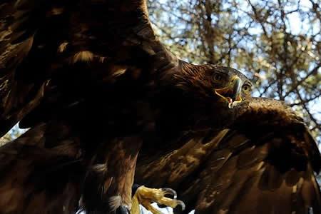 Detectan nuevo territorio de anidación del águila real en México