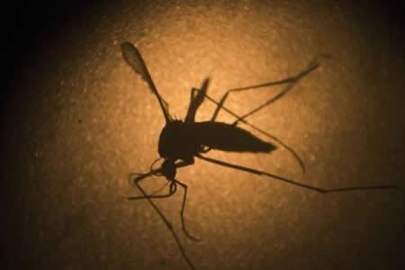 La protección contra el dengue puede funcionar también para el zika