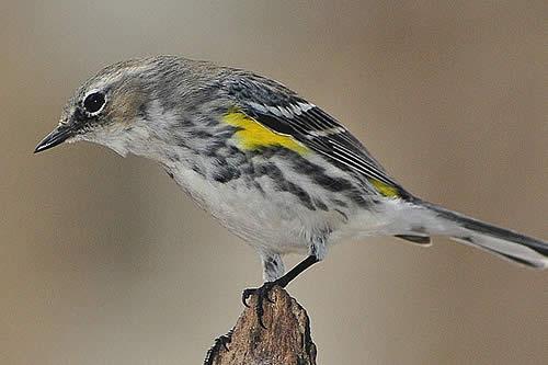 """""""Extremadamente raro"""": Hallan un pájaro que es híbrido de tres especies"""