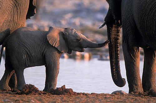 Filman una cría de elefante rosa en Sudáfrica