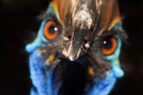 """Ejemplar del ave """"más peligrosa del mundo"""" mata a su dueño en Florida"""