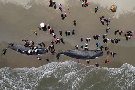 Rescatan seis cachalotes varados en Indonesia pero mueren otros cuatro
