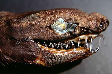 Estos 'tiburones víboras' estremecen con sus mandíbulas a lo 'Alien'