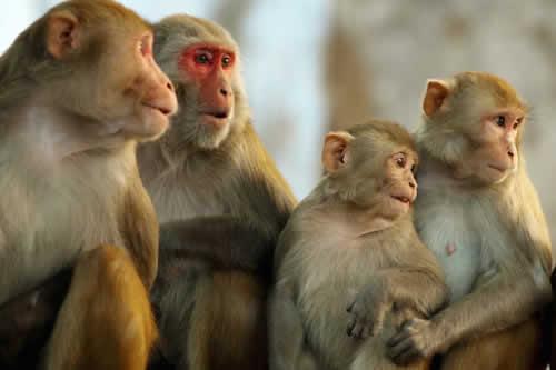 Anticuerpos modificados protegen a monos de un virus similar al VIH