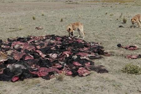 Botaron cueros de animales faenados en área rural alteña