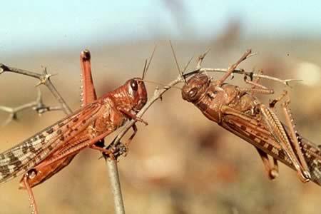 Resultado de imagen para plaga langostas bolivia