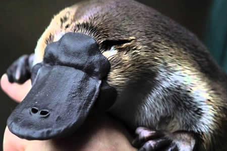 El veneno del ornitorrinco puede ayudar a combatir la diabetes 2