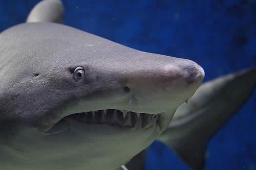 Un enorme tiburón blanco casi se come la cámara que lo filmaba: México