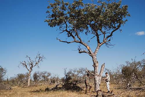 Las abejas protegen el alimento favorito de los elefantes en Sudáfrica