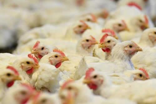 Exportaciones brasileñas de pollo a la UE tendrán pérdidas del 30 % en 2018