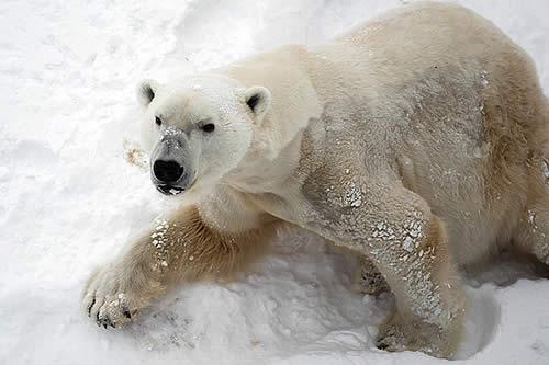 Descubren por qué los animales del Ártico occidental presentan niveles más altos de mercurio