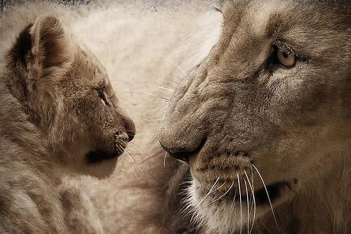 Captan a Mufasa y Simba en la vida real en la víspera del estreno del nuevo 'El rey león'