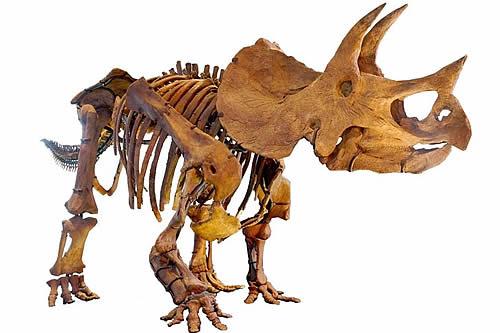 Descubren que los huesos hallados en Colorado pertenecen a un gran tricerátops de hace 68 millones de años