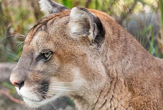 Pumas y linces en Florida tropiezan y caminan de manera extraña (y nadie entiende por qué)