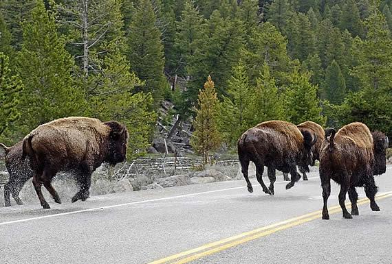 Una manada de bisontes invade una carretera y embiste un coche con una familia dentro