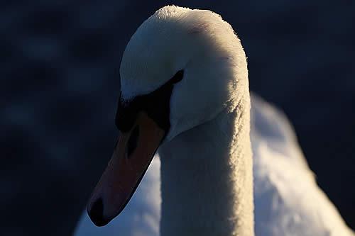 Un cisne intenta desesperadamente rescatar a su amigo enterrado en cieno