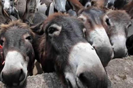 Ocho burros pasan varios días en una cárcel de la India tras darse un festín