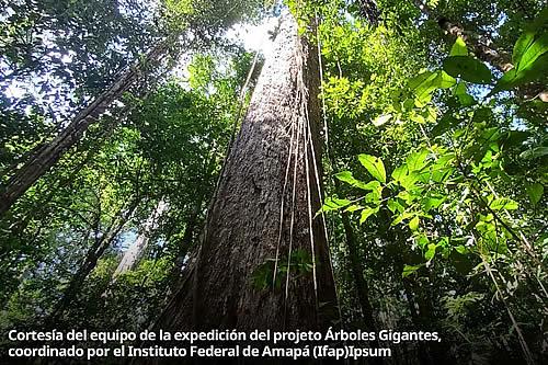 En busca de árboles gigantes escondidos en las profundidades de la Amazonía