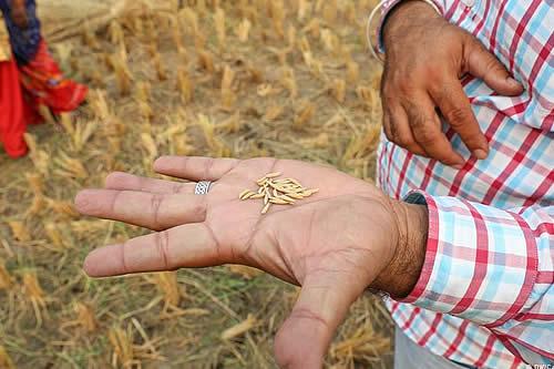 India y Pakistán se enfrentan en la UE por el arroz basmati