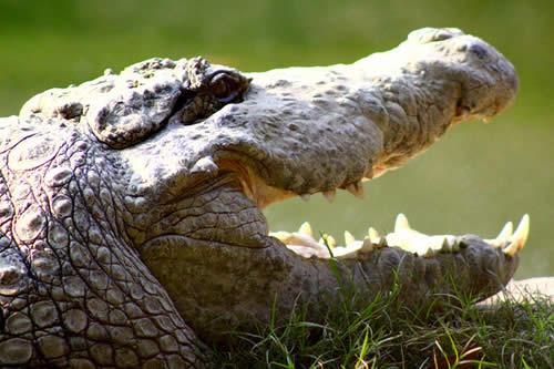 Meten en la cárcel a un cocodrilo que se comió una docena de perros en Australia