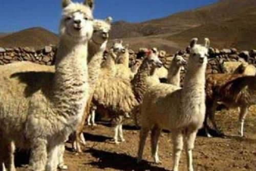 Procamélidos ejecutó más de Bs 10 millones para fortalecer producción de llamas y alpacas en 2018