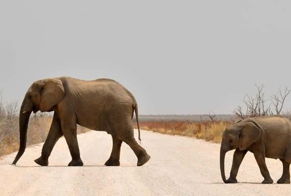 Mientras tanto, en Siberia: un hombre pasea dos elefantes por un área residencial