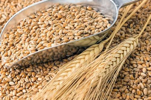 Emapa comprará a $us 330 la tonelada de trigo para incentivar la producción