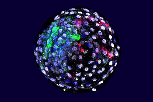 Crean por primera vez embriones quiméricos de mono y humano y los mantienen vivos por 19 días