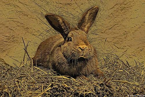 """Roban en Inglaterra el """"conejo más grande del mundo"""""""