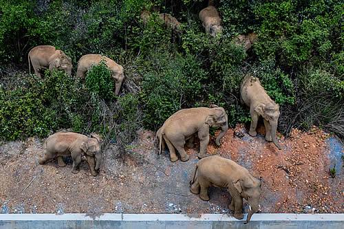 La manada de elefantes que vaga por China mantiene en alerta a la capital de Yunnan mientras continúa su travesía de casi 500 kilómetros