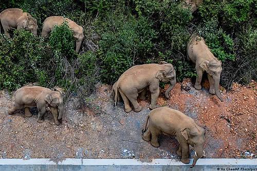 Manada de elefantes salvajes reanuda su éxodo incontenible hacia el norte de China