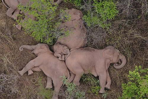 La manada de elefantes que lleva meses vagando por China se toma un descanso tras caminar más de 500 kilómetros