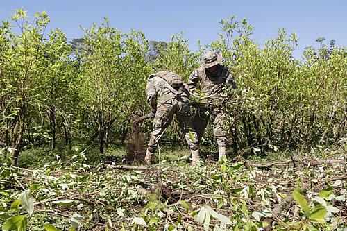 Bolivia racionaliza y erradica 3.262 hectáreas de cultivos de coca hasta julio