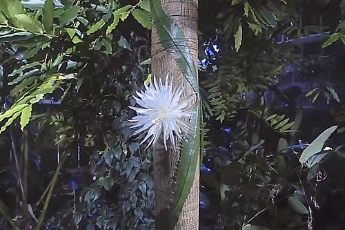 Florece y muere en unas horas una hipnótica flor en el jardín de Cambridge